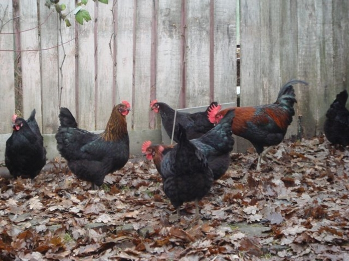 Московская порода кур