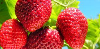 Особенности садовой клубники