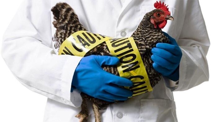 Параллельно с АЧС в России распространяется еще одна беда для животноводов — птичий грипп