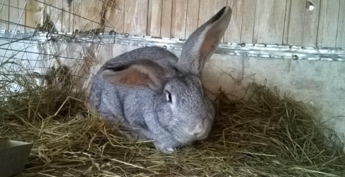 Питание кролчики во время беременности