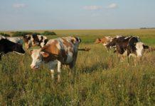 Поголовье крупного рогатого скота в Крыму за год выросло на 13%