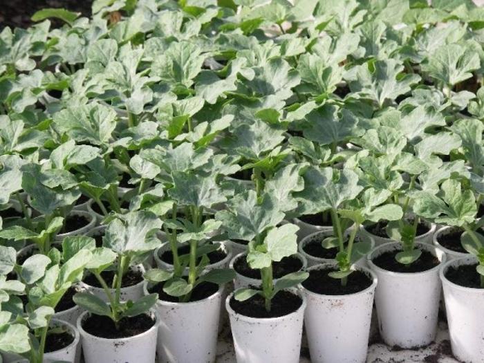 Выращивание арбузов из семян