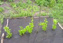 Посадка лимонника в открытый грунт