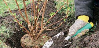 Посадка смородины в открытый грунт