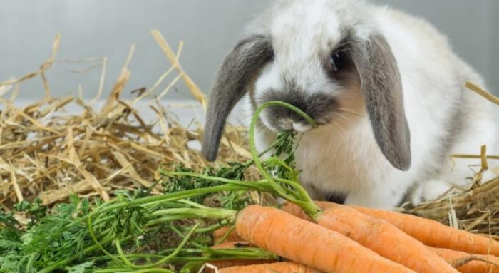 Поведение крольчихи перед окролом