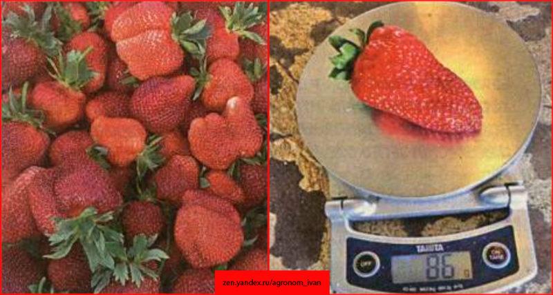 Проверьте эффект этого метода, ягоды больше 80 грамм