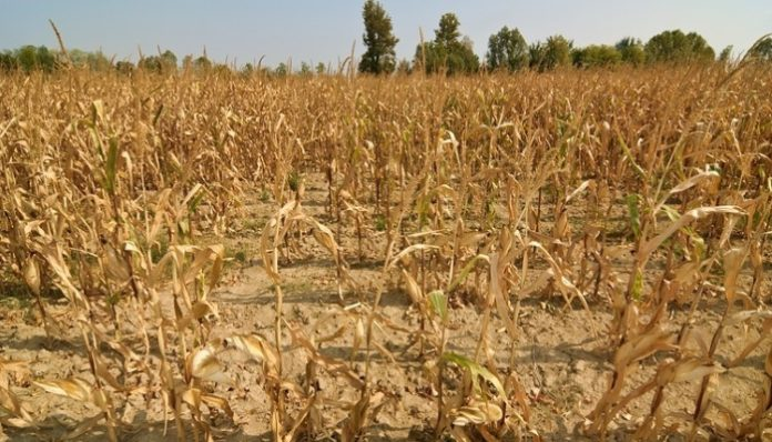 Режим ЧС введен в Чувашии в связи с засухой и гибелью сельхозкультур