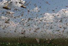 Россельхознадзор: пик нашествия саранчи в Астраханской области ожидается в августе