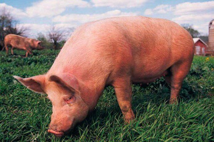 Россия должна войти в пятерку мировых экспортеров свинины