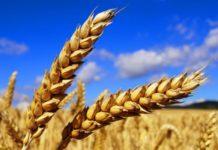 Рост урожая качественной пшеницы в РФ возможен при полной отмене вывозной пошлины - эксперт