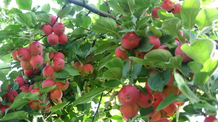 Секреты агронома. Как поторопить яблоню