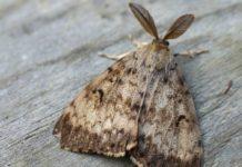 Шелкопряд непарный Lymantria dispar