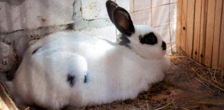Сколько длится и как определить сукрольность крольчихи