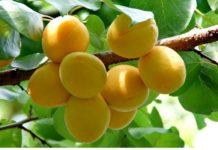 Урожай фруктов и ягод в Крыму в 2018 году ожидается на 28% больше прошлогоднего