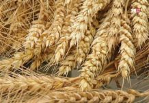 Урожай зерна прогнозируется меньше среднего за пять лет