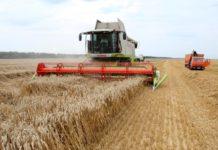 Урожай зерновых в Крыму снизится из-за засухи на 500 тысяч тонн