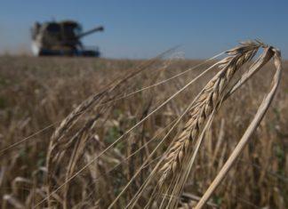 Урожайность пшеницы — на трехлетнем минимуме