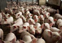 В Бразилии наблюдается обвал цен на свинину, а в России пока другая картина