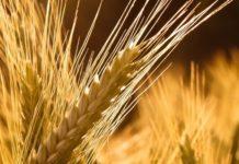 В Липецкой области запускаются два новых семенных завода