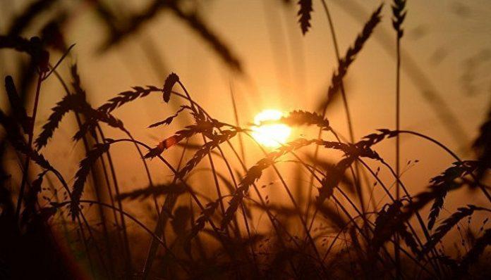 ВМинсельхозе РФпредложили, сколько пшеницы продать изгосфонда