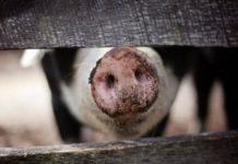 Новая вспышка африканской чумы свиней зарегистрирована в Ленобласти