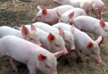 В Тверской области впервые за четыре года обнаружили очаг африканской чумы свиней