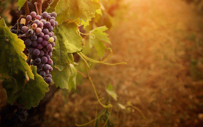 Виноделие — одно из приоритетных направлений Минсельхоза