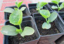Выращивание дыни из семян