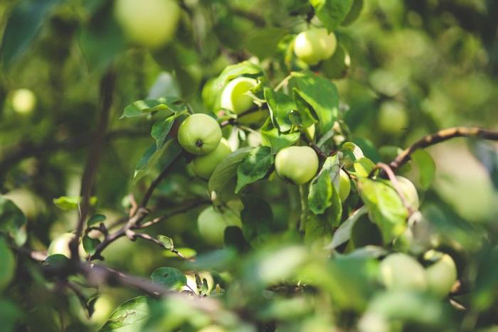 Заставляем плодоносить яблоню каждый год