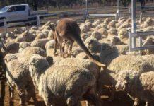 Австралийские фермеры возмущены американской господдержкой сельского хозяйства