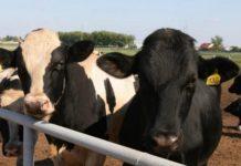 Более 200 голов молодняка крупного рогатого скота из Голландии поступило на молочный комплекс в Тверской области