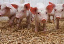 Более 200 свиноводческих хозяйств Калининградской области сменят профиль из-за АЧС