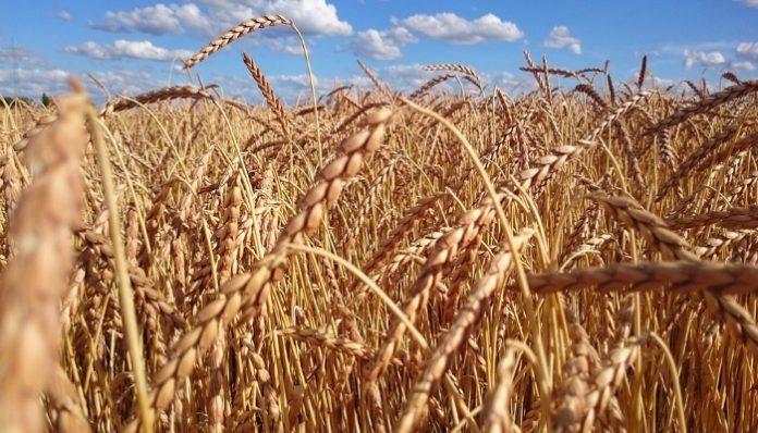 Дефицит пшеницы подстегнет рост цен на продукты?