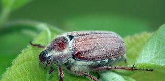 Хрущ майский западный жук Melolontha melolontha L