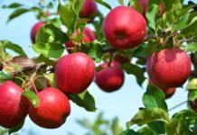 Яблоки с каптаном: Роскачество предложило нормировать пестициды