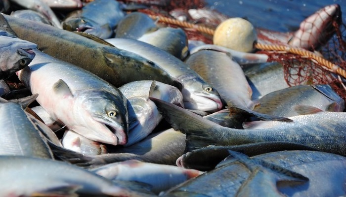Камчатка побила вековой рекорд по вылову лосося