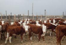 Комментарий.«Мы купили селянам бычков, завезли корма и дело тронулось»
