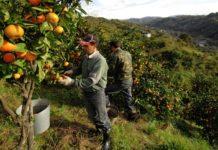 Комментарий. Сборщики овощей в Италии требуют улучшения условий труда
