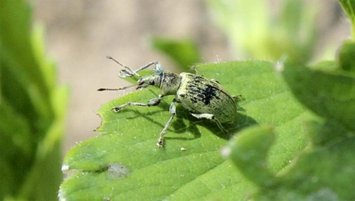 Крапивно-листовой долгоносик  Крапивно-листовой долгоносик обладает насыщенно-зеленым окрасом и длиной около 1,2 см. Этот вредитель фигурно объедает кромку листовых пластин. С середины и по конец летнего периода личинки такого вредителя повреждают корневую систему кустиков.  Чтобы избавиться от таких вредителей, нужно не позже чем за 7 суток до того, как растение зацветет, либо сразу после того, как будет собран урожай, опрыскать кустики Децисом, Конфидором, Карбофосом либо Искрой. В целях профилактики сжигайте остатки растений и рыхлите поверхность почвы между рядами.