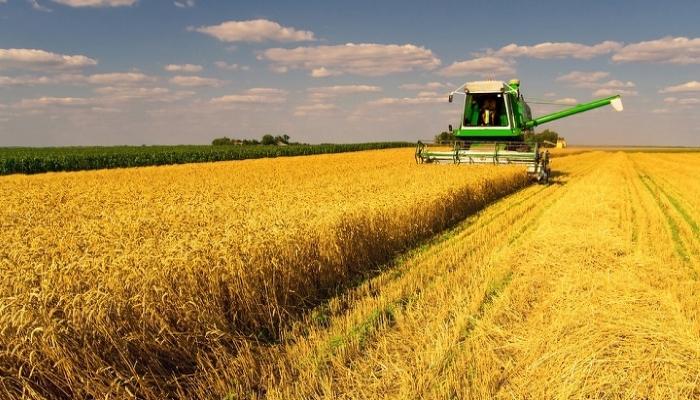 Ленинградская область увеличит объемы производства пшеницы