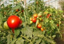 Лисовский: У России есть все возможности для перехода на полное самообеспечение овощами