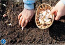 Луковицами цветов, особенно тюльпанов, любят лакомиться мыши-полевки. Чтобы от этих вредителей избавить наши растения, вокруг высаживаем чеснок, чей резкий запах отпугнет грызунов.
