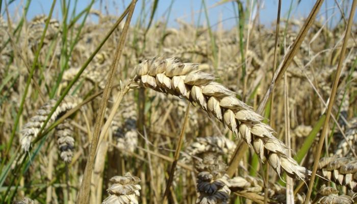 Минсельхоз: на 9 августа собрано 60,5 млн тонн зерна