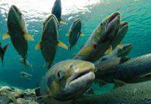 Рыбозаводы Камчатки помогут в разведении лосося