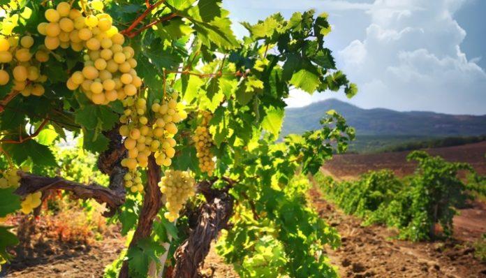 Площадь виноградников в Крыму выросла в три раза