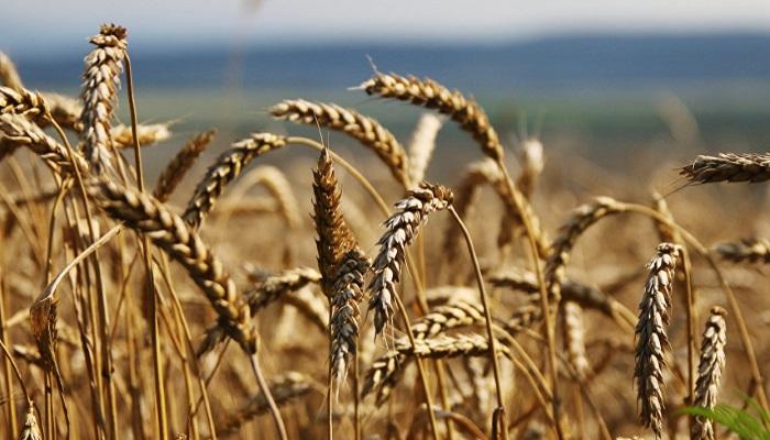В Саратовской области из-за засухи погибло более 120 тыс. гектаров посевов