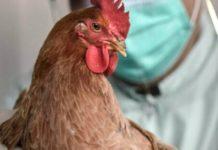 В Татарстане сняли карантин по птичьему гриппу