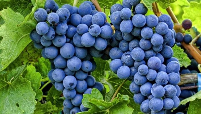 Виноделы прогнозируют снижение урожайности винограда из-за жары