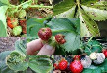 Вредители и болезни земляники
