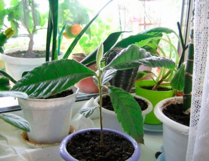 Выращивание мушмулы из косточки в домашних условиях